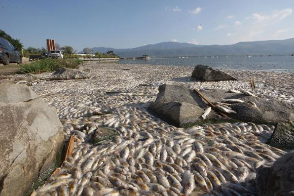 CONTINGENCIA AMBIENTAL EN JALISCO: Extraen 53 toneladas de peces muertos en la laguna Cajititlán