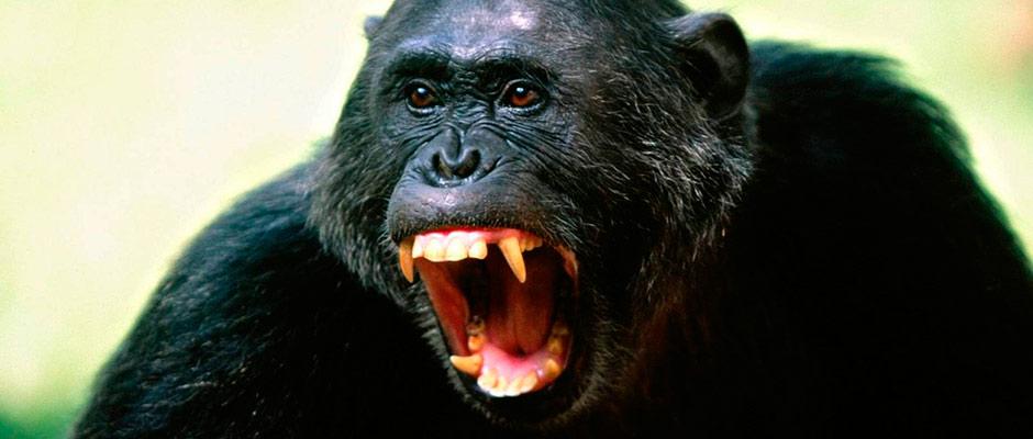 17chimpances